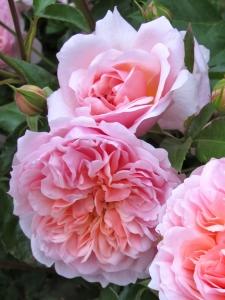 'Anne Boleyn' roses