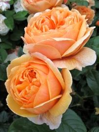 'Carolyn Knight' roses