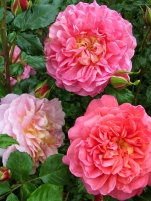'Christopher Marlowe' roses