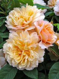 'Grace' rose