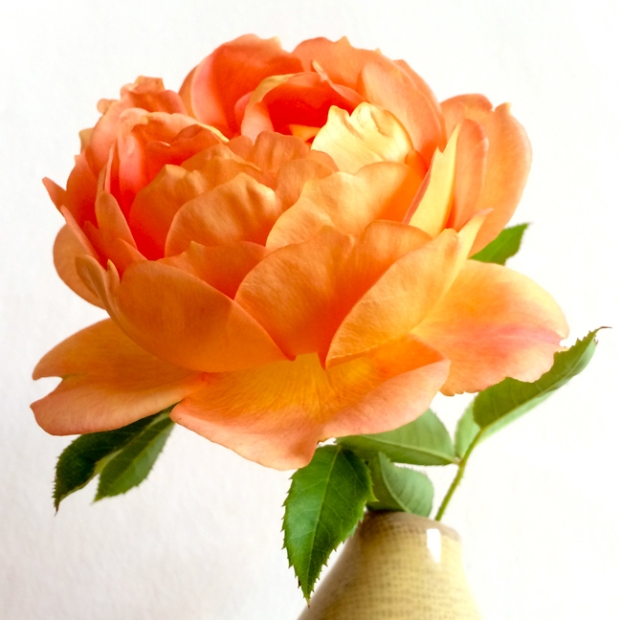 Rosa 'Lady of Shalott' in a vase