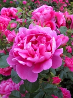 'Royal Jubilee' rose