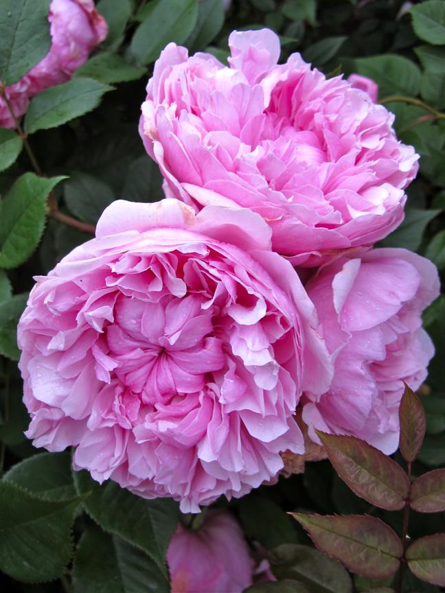 'Sister Elizabeth' roses