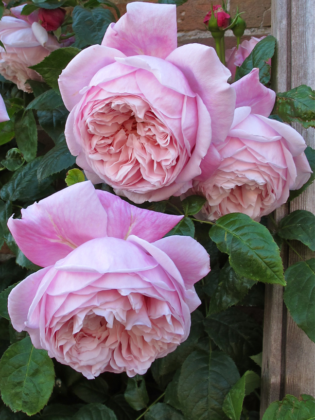 'Spirit of Freedom' roses