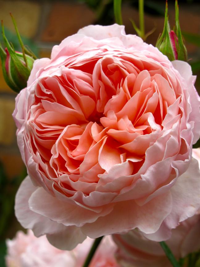 Rosa 'William Morris'