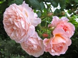 Rosa 'A Shropshire Lad' 1