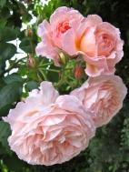 Rosa 'A Shropshire Lad' 2