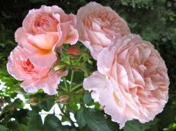 Rosa 'A Shropshire Lad' 3
