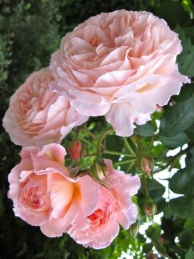 Rosa 'A Shropshire Lad' 4