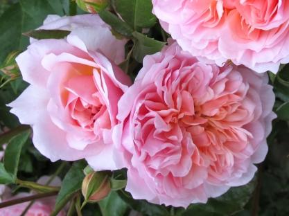 Rosa 'Anne Boleyn' 4