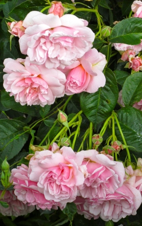 Hanging clusters of roses