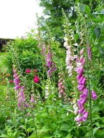 Foxgloves at Arley