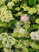 Pastel hydrangea flowers