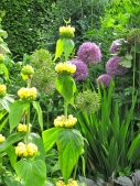 Phlomis and alliums