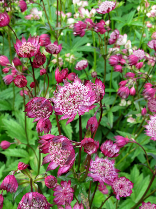 Red astrantia