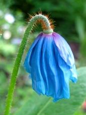 A blue poppy (meconopsis)