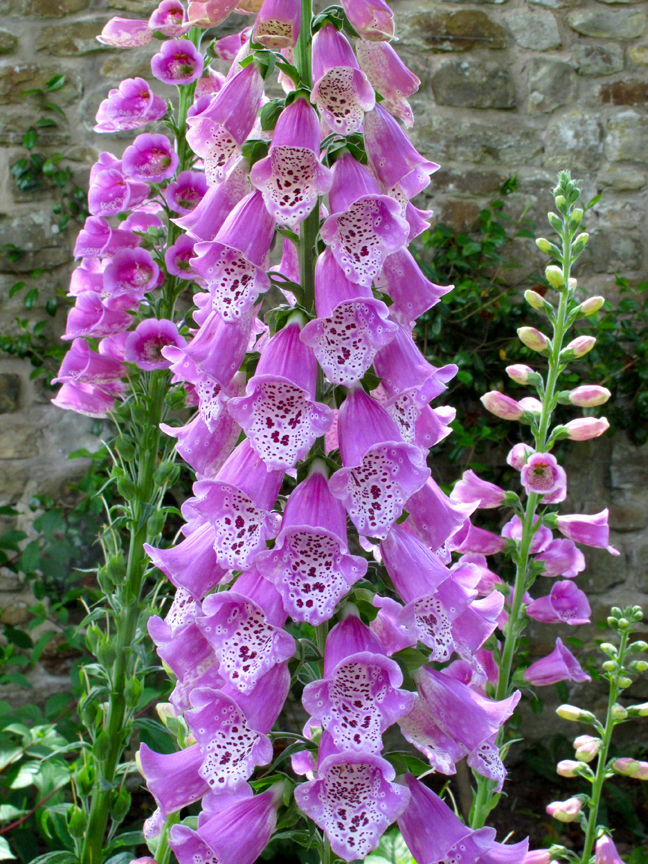 Pink spotted foxgloves