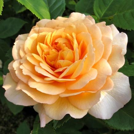 Rosa 'Grace' 1