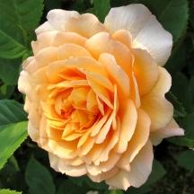 Rosa 'Grace' 2