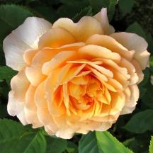 Rosa 'Grace' 3