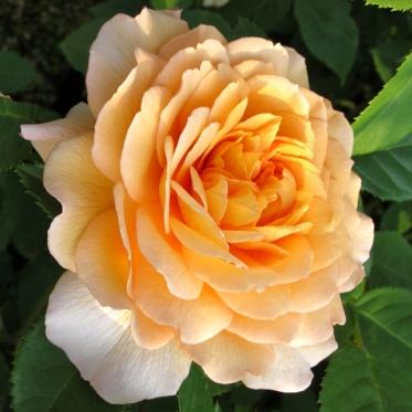 Rosa 'Grace' 4