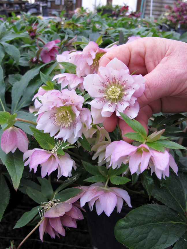 Spotted double hellebore seedling