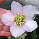 Pale pink hellebore seedling