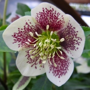 Spotted hellebore with broad, clear edge