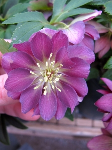 Double hellebore with pale centre