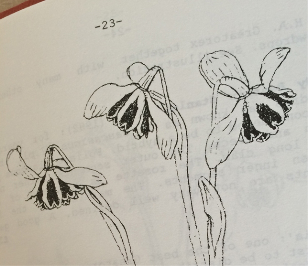 Illustration of 'Jacquenetta' snowdrop by John Morley
