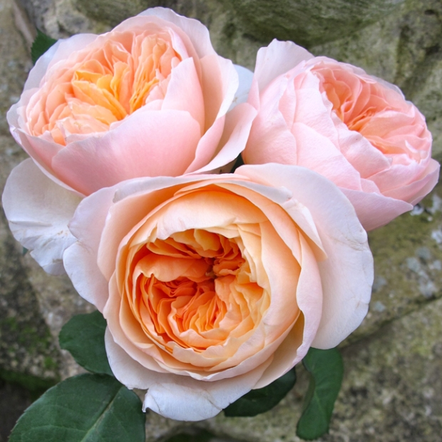 Posy of apricot 'Juliet' cut garden roses