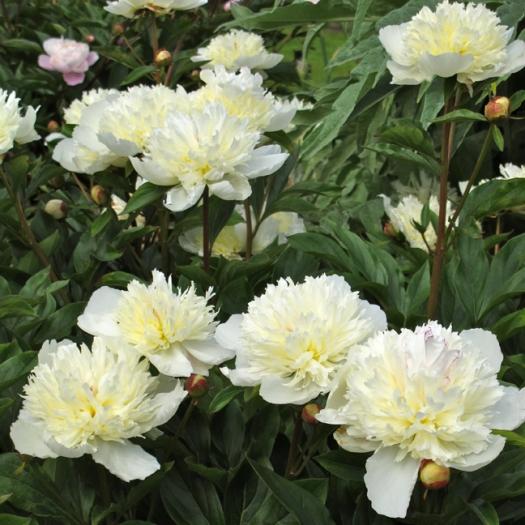 Picture of a cream shrub peony