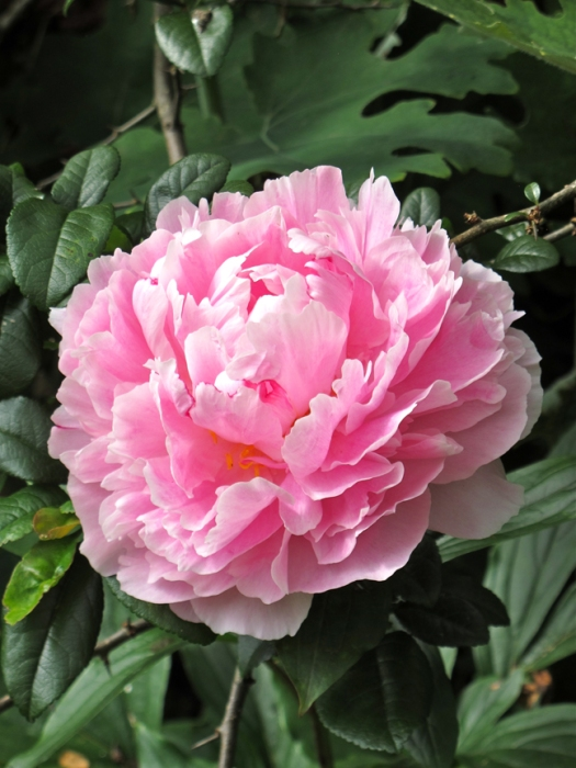 Picture of a pink peony close up