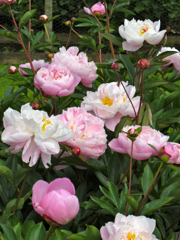 Picture of a pink peony with golden stamens