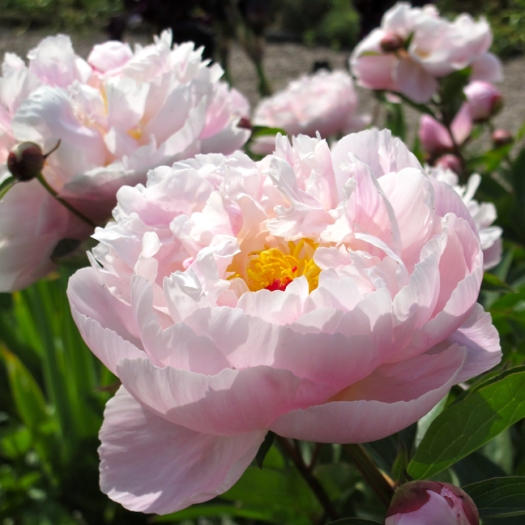 Picture of pink peonies with golden stamens