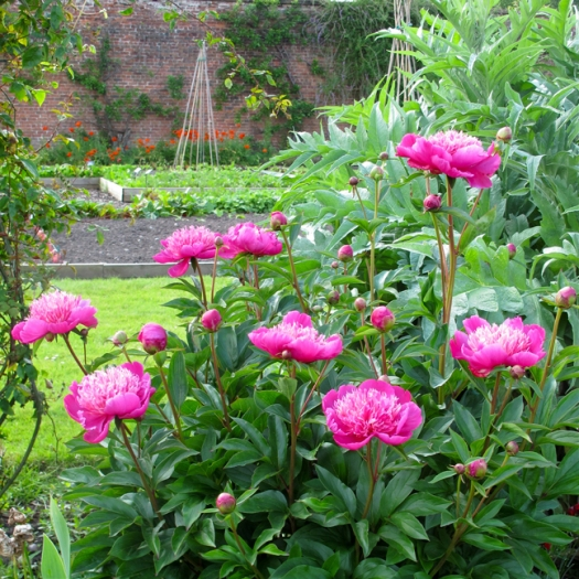 Picture of bright pink peonies in the kitchen garden