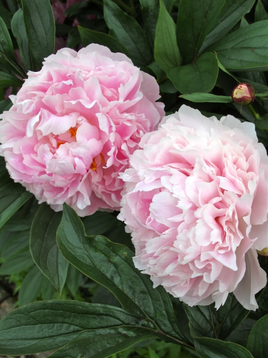 Picture of double pink peonies