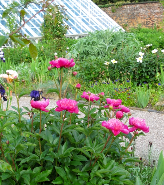 Picture of peonies in an early summer flower borders