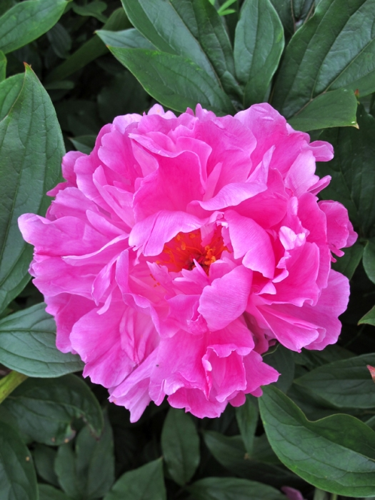 Picture of a bright, lipstick pink peony