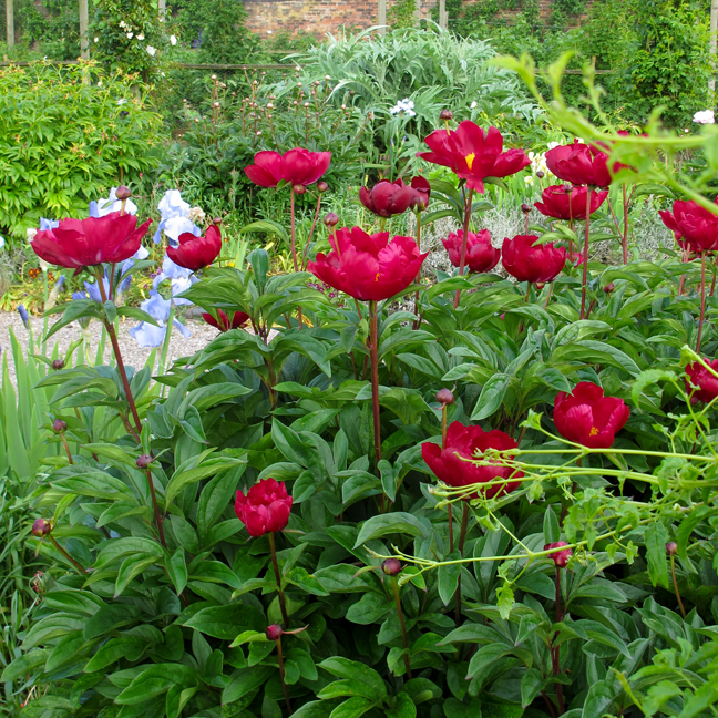 A red peony in an early summer border