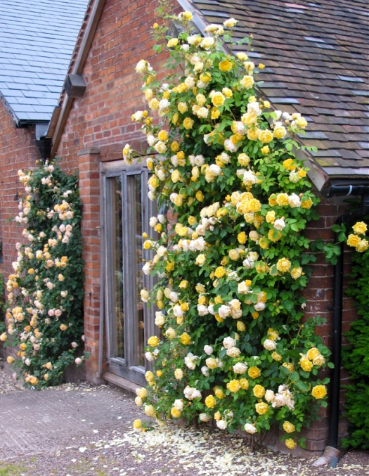 'Graham Thomas' and 'Crown Princess Margareta' climbing roses