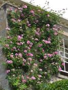 pink climbing rose
