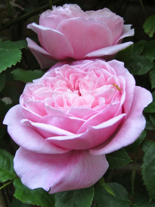 Picture of English rose 'Spirit of Freedom'