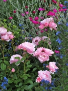 Roses in a flower border