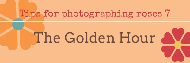 Tips on photographing roses 7 The Golden Hour