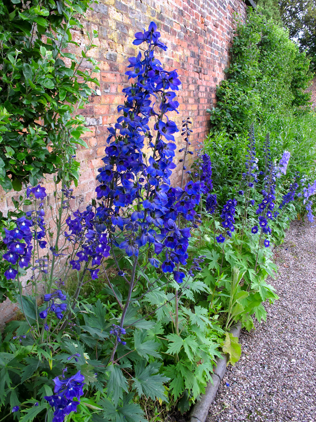 Blue delphiniums in a walled garden