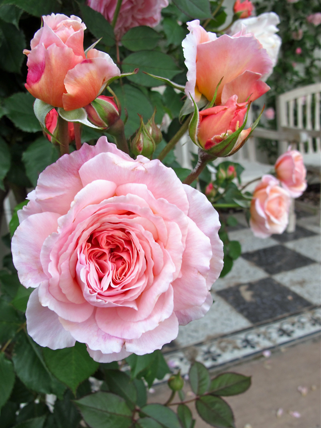 a shropshire lad 1-year guarantee on all of our own root roses a shropshire lad rose a large,  strong-growing shrub for a position further back in the border it is related to.