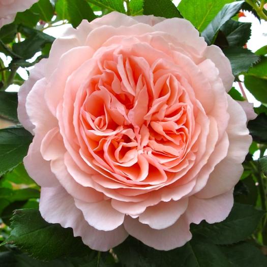 'A Shropshire Lad' rose
