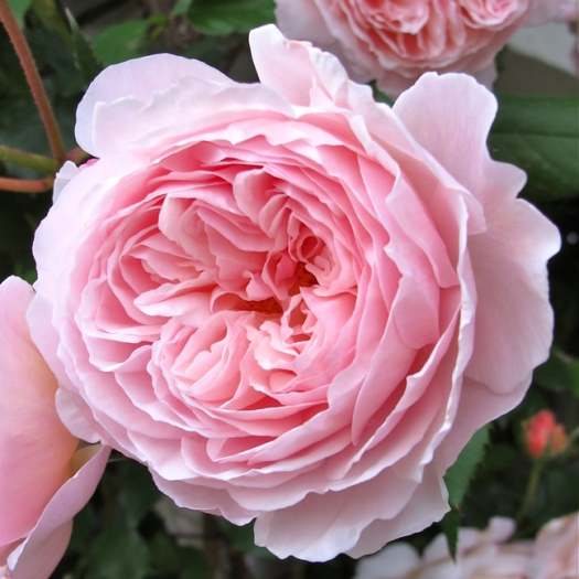 'A Shropshire Lad' close up bloom