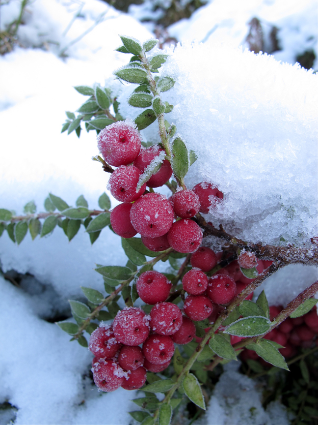 Berries in snow